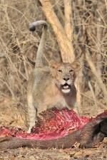 ASIATIC LION CUB WITH KILL