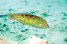 INDIAN PINSTRIPED WRASSE