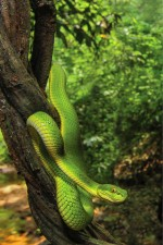 SPOT TAILED PIT VIPER