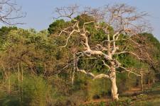 KULLU TREE