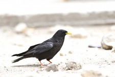 YELLOW BILLED CHOUGH
