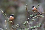 RUFOUS FRONTED TIT