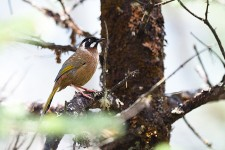 BLACK FACED LAUGHINGTHRUSH